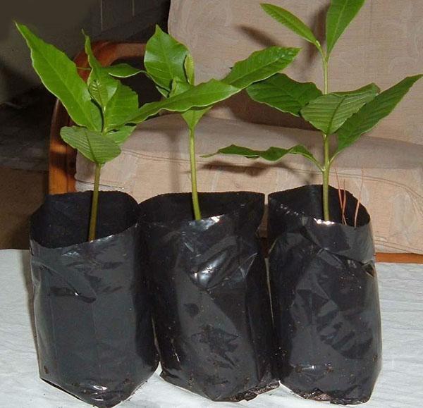 саженцы фисташкового дерева