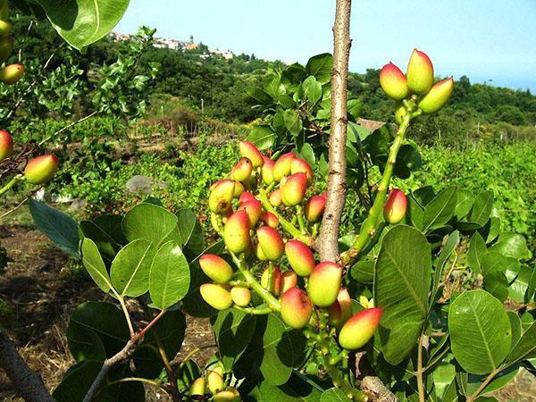 листья фисташкового дерева