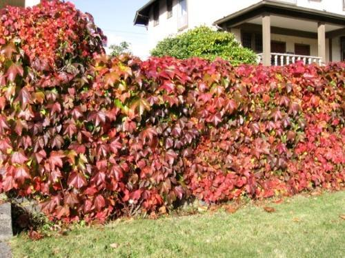 изгородь осенью