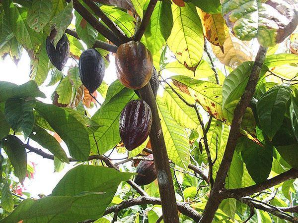 созревание плодов какао