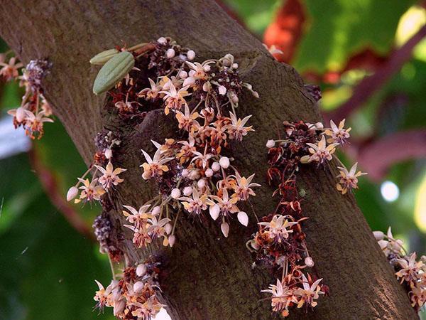 цветет какао