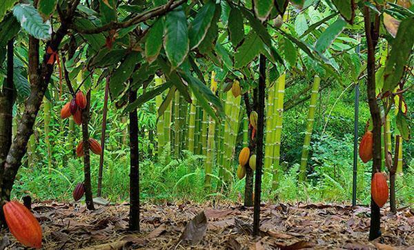 выращивание какао дерево