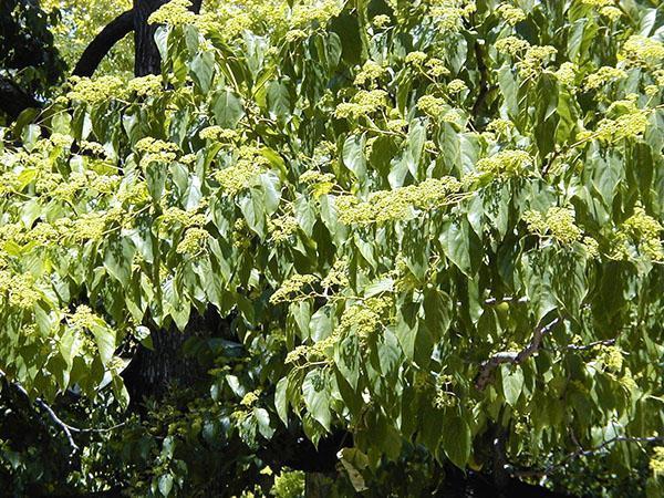 конфетное дерево в вашем саду