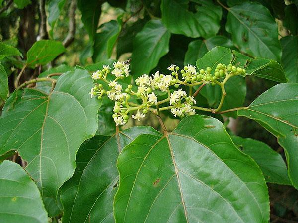 листья конфетного дерева