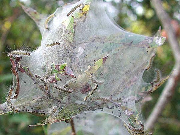 гусеницы на дереве