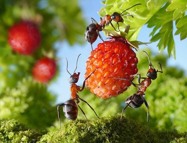 муравьи в саду и на грядках