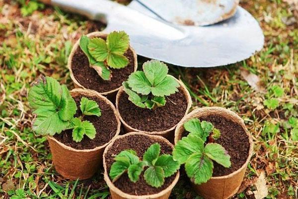 рассада земляники из семян