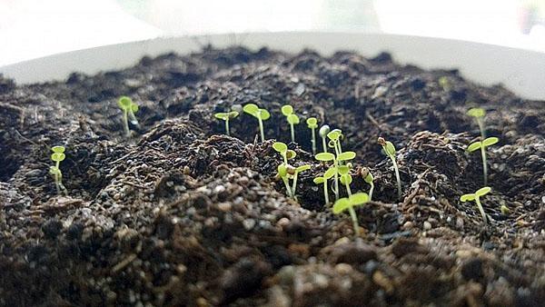 всходят семена земляники