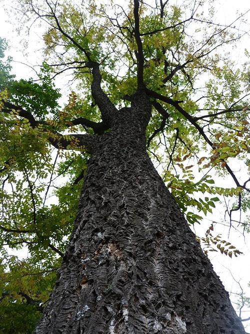Пробковое дерево - где растет свойства где используется видео