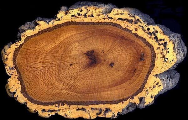 срез ствола пробкового дерева