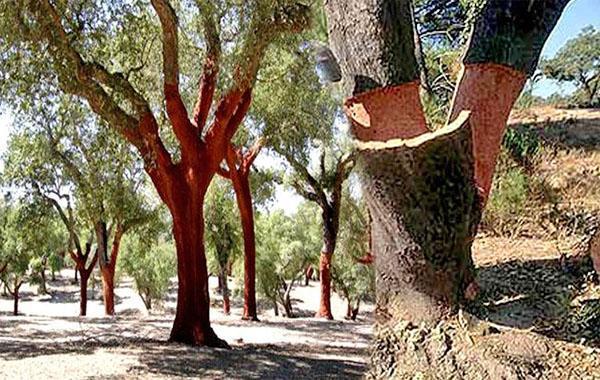 упругая кора пробкового дерева