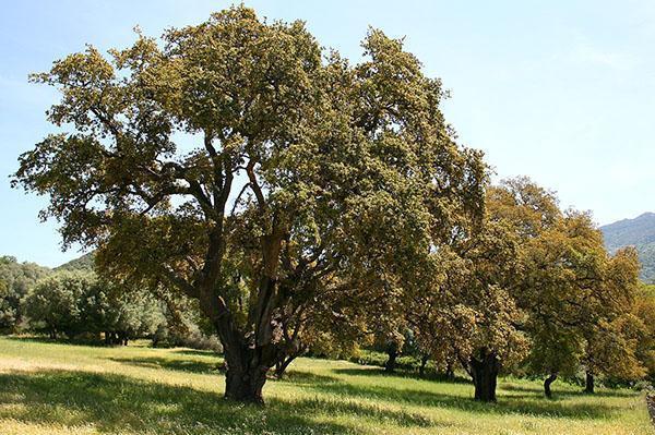 деревья с уникальной корой
