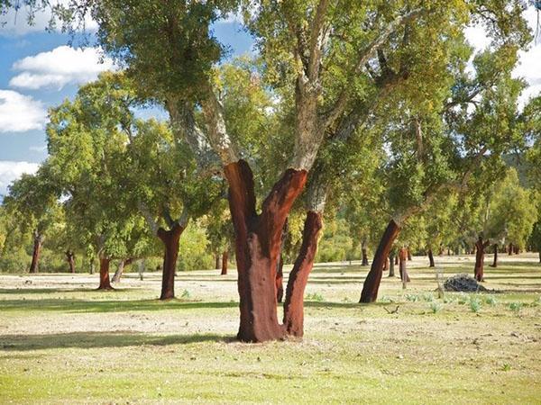деревья со снятой корой