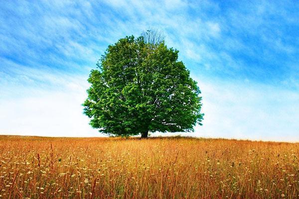 дерево долгожитель