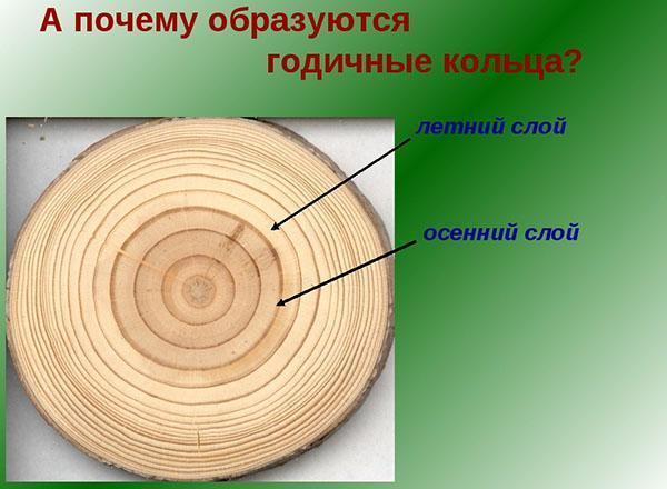 возраст дерева по годичным кольцам