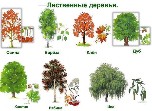 лиственные деревья долгожители