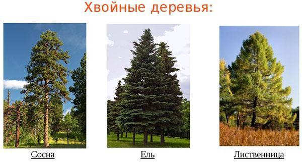 хвойные деревья долгожители