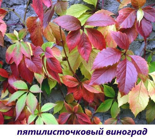 пятилисточковый виноград