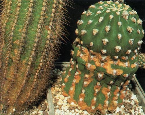 пятна на кактусе