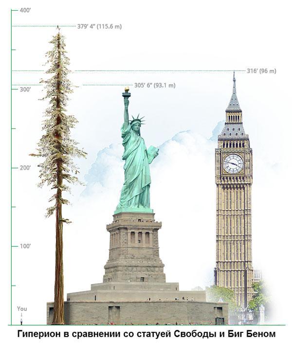 высота секвойи