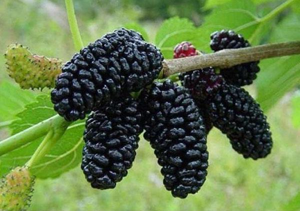 плоды тутового дерева