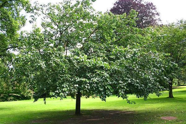 тутовое дерево в саду