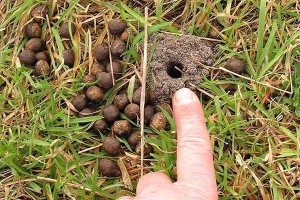 нора жука скарабея