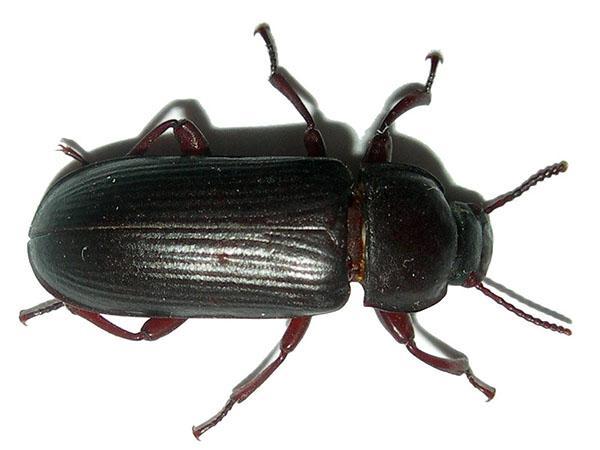 Как выращивать жука знахаря в домашних условиях?