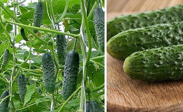 урожайность сорта