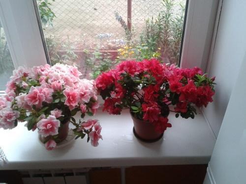 азалия на окне