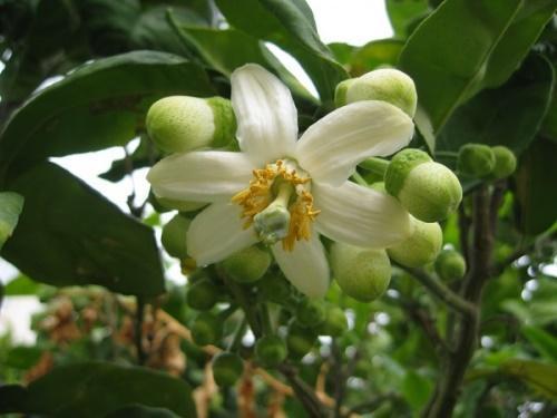цветение помело