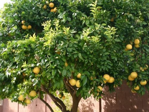 дерево помело