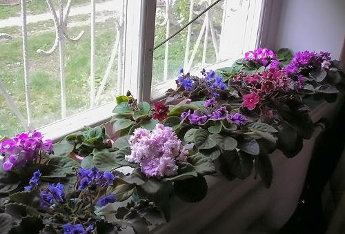 фиалки на окне