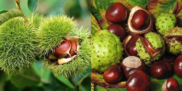 плоды съедобного и конского каштана