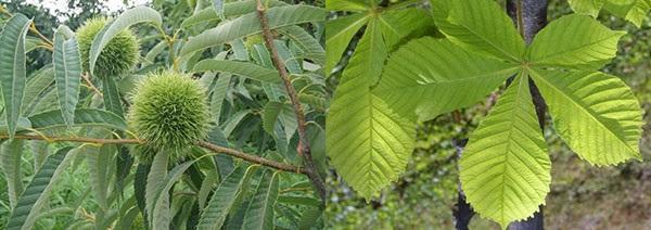 листья съедобного и конского каштана