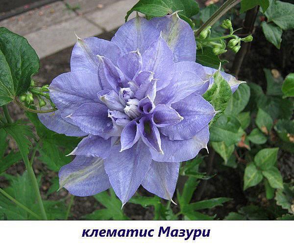 клематис Мазури