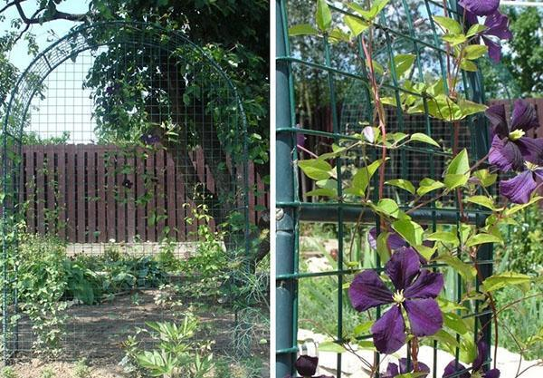 место для клематиса в саду