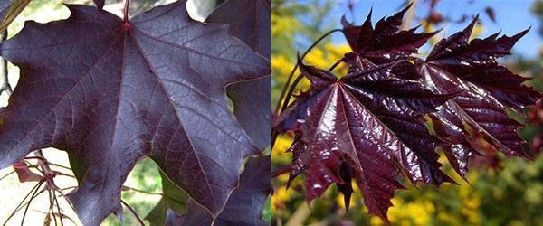 листовые пластины черного клена