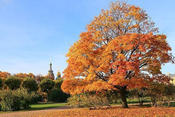 яркая листва клена осенью