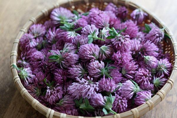 лечебные свойства цветов клевера
