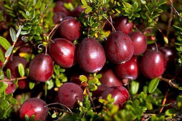уникальный химический состав ягод