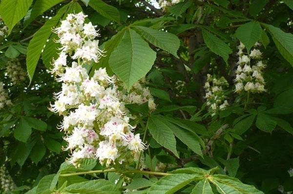 цветение конского каштана