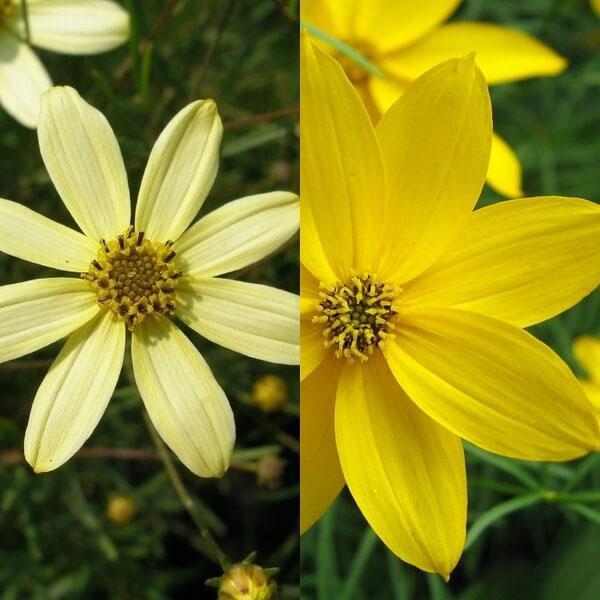 цветок солнышко
