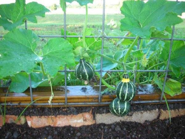 выращиваем лагенарию