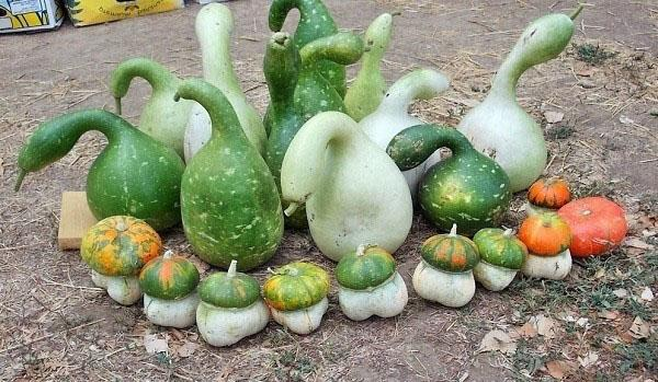 необычные плоды лагенарии