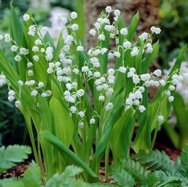 цветет ландыш