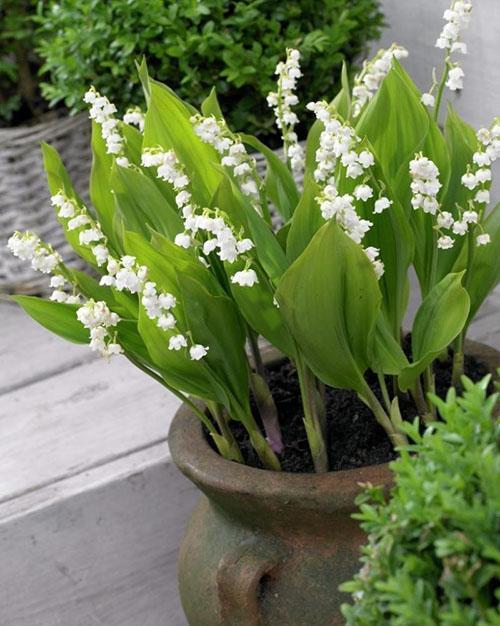 цветут ландыши в горшке
