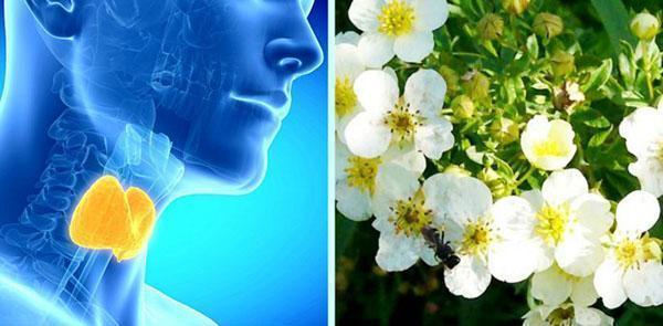 лекарственное растение лапчатка белая