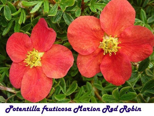 Potentilla fruticosa Marion Red Robin