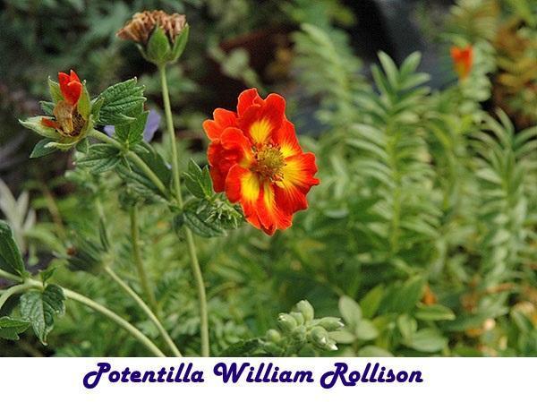 Potentilla William Rollison